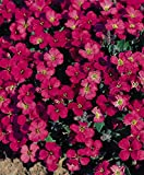 AUBRETIA GRACILLIS - ROCK CRESS - ROYAL RED - 0.15 GRAM ~ APPROX 300 SEEDS