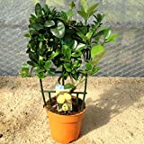Kumquat Nagami Orange Citrus Plant - Approx 25cm Tall - In Fruit - Calamondin Orange Tree Type Plant