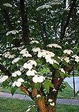 Tropica - Chinese Dogwood (Cornus kousa var. chinensis) - 30 Seeds