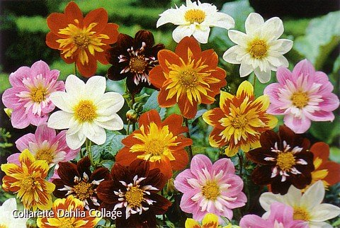 Buy Collarette Dahlia Collage – 3 Roots – Eyecatching!