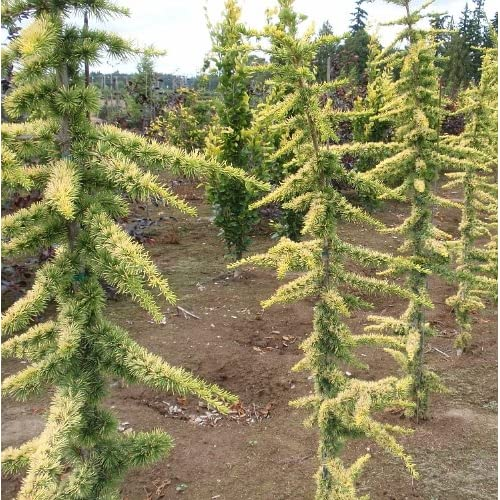 Dwarf Cedar Tree Varieties ~ Dwarf blue atlas cedar related keywords