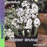 ◆清楚な淡いグラデーション プスキニア リバノティカ 10球 【オランダからの花便り】【秋植え球根】