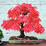 KAYI Japanese Maple Tree Seeds Fall Red Maple Branch Tree Bamboo Leaf Bonzai Mini Home Garden Tab Ornament Series