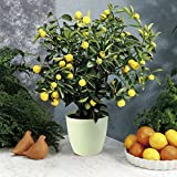 35 Seeds Dwarf Meyer Lemon Tree indoor/outdoor
