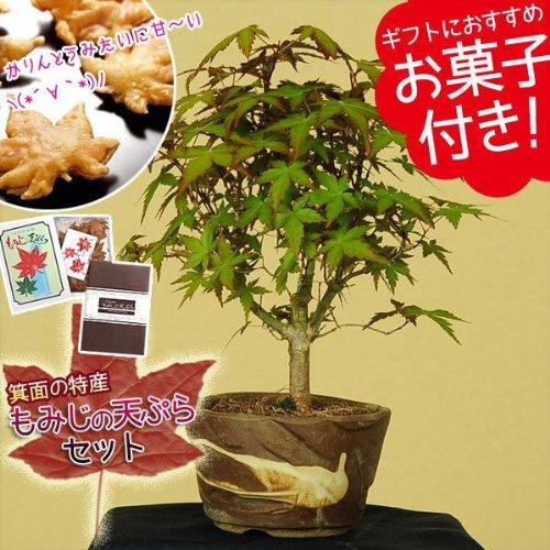 小品盆栽:山もみじ(瀬戸焼小鉢)もみじの天ぷらセット*