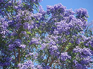 how to grow a jacaranda tree from seed