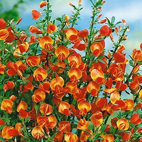 1-x-cytisus-lena-broom-compact-deciduous-shrub-hardy-garden-plant-in-pot