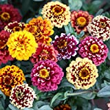 Amazon / jinli: Zinnia Elegans Seeds of 500, Flower Seed, Vegetable Seed, Herb Seed, Melon Seed Youth - and - old - age
