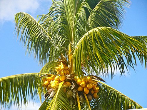 Buy Coconut Palm Now!