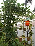 SEED Seller: Yard Long Bean Cowpea Vigna unguiculata Seeds for growing. Color: Green. KANJIKUZHI (Pod Length: 37 Inch) High yielding variety for Commercial cultivation, Kitchen Gardening, grow in Grow bags (30)