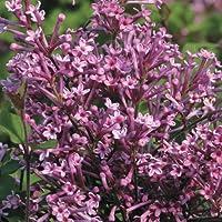 Bloomerang Purple® Lilac - Syringa - Proven Winners - 4