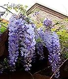 Blue Japanese Wisteria Vine 5 Seeds - Hard to Find!