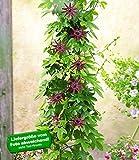 BALDUR-Garten Winterharte Passionsblumen 'Ladybirds Dream'