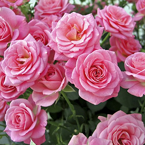 the-garden-glamour-repeat-flowering-rose-collection-5-varieties