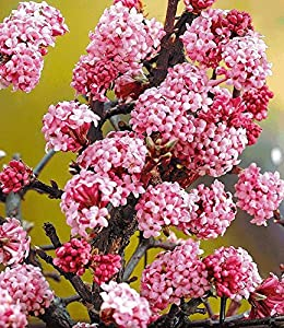 baldur garten duft schneeball dawn viburnum bodnantense winterschneeball 1 pflanze. Black Bedroom Furniture Sets. Home Design Ideas