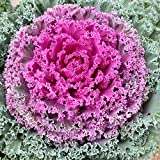 Pepper Agro Mixed Ornamental Kale Seeds