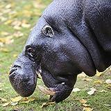 Thug the Hippo and Presentation Box