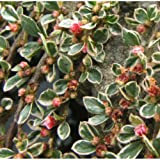 PACK OF 3 Cotoneaster horizontalis Variegatus - Grown in 9cm Pot - Low Growing Shrub Plant