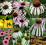 10 ECHINACEA AND RUDBECKIA MIXED MINI PLUG PLANTS - HARDY PERENNIAL