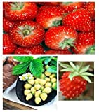 3 packs - STRAWBERRY SEEDS - Wild, Yellow and Temptation
