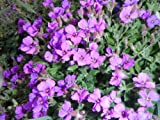 2 x BLUE AUBRETIA GARDEN PERRENIAL PLUG PLANTS FOR GARDEN / ROCKERY