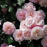 バラ苗 つる桜霞(さくらがすみ) 国産大苗6号スリット鉢 つるバラ(CL) 返り咲き ピンク系
