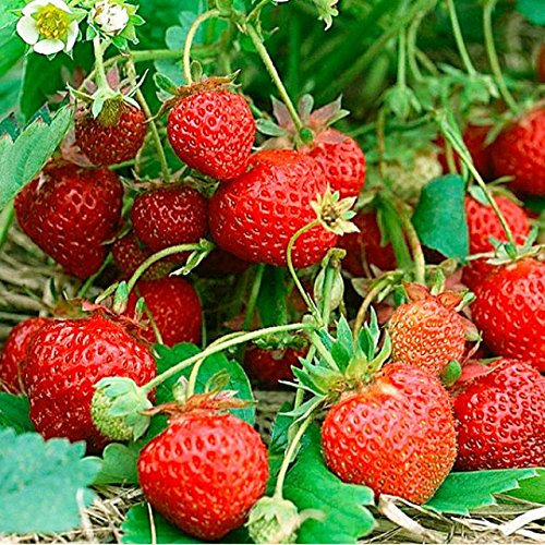 premier-seeds-direct-fo-zjs2-3xaa-strawberry-four-seasons-seeds-pack-of-200