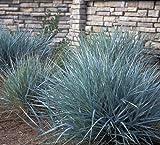 Powder Blue Ornamental GRASS