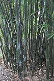 Exotic Plants Bambusa textilis - bambou des tisserands - 25 graines