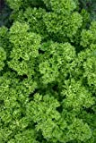 Just Seed - Parsley - Champion Moss Curled - 500 Seeds - Economy Pack