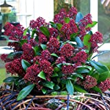 Winter Skimmia Rubella - 1 shrub