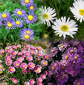 Alpine Mix Aster - 4 Plants - Very Hardy -Very Colorful