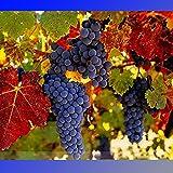 (Grape *Ambizu*) Rare French Cabernet Sauvignon Grape Bush Organic Seeds, Professional Pack, 15 Seeds