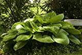 Amazon / Hirts: Hosta: Sum and Substance - 2004 Hosta of the year! - Gallon Pot