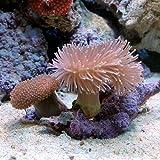(海水魚 サンゴ)ウミキノコ ロング&ショートセット Sサイズ(1セット) 本州・四国限定[生体]