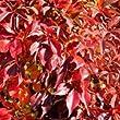 Parthenocissus quinquefolia 17cm Pot Size