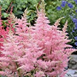 Astilbe pink Jump and Jive - 4 plants