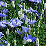 Blue and White Spring Garden - 60 flower bulbs