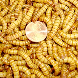 2000ct Live Giant Mealworms Pet Food, Best Bait