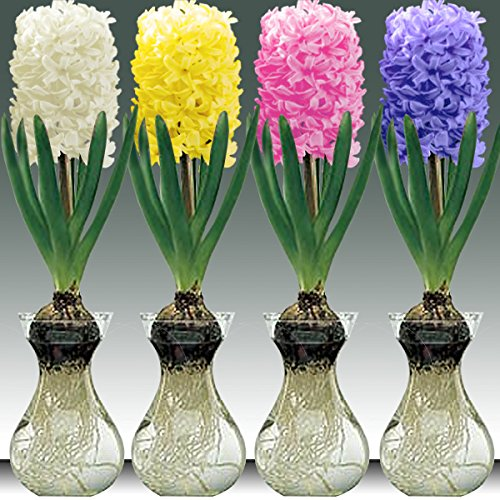 Pre Chilled White Hyacinth Bulb And Glass Vase For Forcing