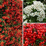 10 x Pyracantha Red Column (Firethorn) - Ideal Hedging (Red Berries)