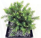 Osmaston Serbian Spruce Tree - Picea - 4
