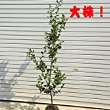特大サイズ!植えた直後に生垣にできます! 庭木:サザンカ(さざんか)朝倉 樹高約140cm 全高約150cm