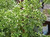 Origanum vulgare ssp hirtum, Greek Oregano, 0.2g approx 2400 seeds, best culinary cultivar