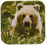 3dRose cst_87346_1 Alaska, Lake Clark NP, grizzly bear - US02 BJA0115 - Jaynes Gallery - Soft Coasters, Set of 4