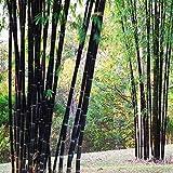 Coeus 100pcs jardin plantes graines de bambou noir cour phyllostachys nigra