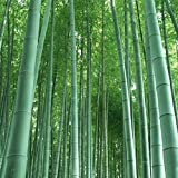 Giant bamboo (moso bamboo) / 50 seeds / winter hardy / grows 10 meters high in record time / Ideal as privacy & wind screen (Color: Green)