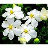"""Hardy Daisy Gardenia - Hardy 0 degrees - Kleim's Hardy - 4"""" Pot"""