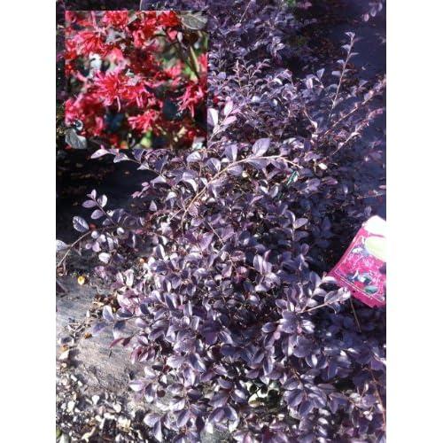 Ever Red Ever Red Fringe Flower