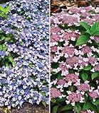 BALDUR-Garten Zwerg-Hortensien-Kollektion, 2 Pflanzen 1 Pflanze Zwerg-Hortensie Koreana und 1 Pflanze Zwerg-Hortensie Lace Delight Hydrangea